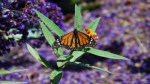 Monarch at rest by mikelly