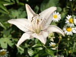 White Lily by digitalpix4all