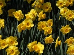 Daffiness by digitalpix4all